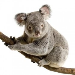 Sticker animal Koala 30x28cm