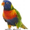 Sticker animal Perroquet (plusieurs dimensions) réf 651